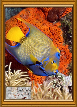 Queen Angelfish 99.9KB